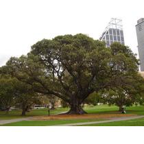 Figueira Da Austrália - Ficus Macrophylla - Sementes P Mudas