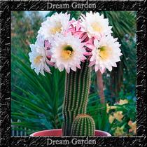 Sementes De Cactus Cacto Sortido Sementes Para Mudas
