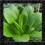 Komatsuna Para Baby Leaf - Sementes Hortaliças P/ Mudas