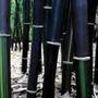 Bambu Preto (phyllostachys Nigra Muchisasa) 1000 Sementes