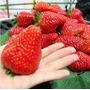 60 Semente Morango Vermelho Gigante + Brindes