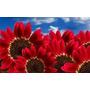 20 Sementes De Girassol Vermelho + Brindess