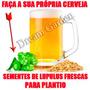 Humulus Lupulus Trepadeira Cerveja Sementes Para Mudas