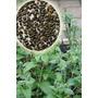 Chia - Salvia Hispanica - Sementes Ervas Para Mudas