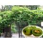 Mini Kiwi Escalador - Sementes Frutas Trepadeira E Bonsai