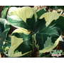 2 Bulbos Xanthosoma Variegatum-