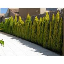 Cipreste Monterey - Cerca Viva Sementes P/ Mudas E Bonsai