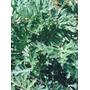 Sementes De Absinto - Artemisia - Erva Dos Vermes
