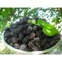 Amora Mulberry - Sementes Fruta Cerca Viva E Bonsai P/ Mudas