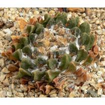 100 Sementes Cactos Ariocarpus - Com Garantia