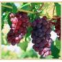 10 Sementes De Uva Gigante - Vermelha