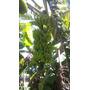 Banana Maçã Rizoma Muda Semente Dna Babá Crianças E Idosos