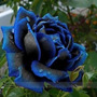 10 Sementes Rosa Azul Da Meia Noite Gigante