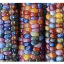10 Sementes Milho Glass Gem-rainbow-coloridos Orgânicos