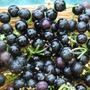 Wonderberry - Sunberry Sementes Para Mudas Fruta Frutiferas