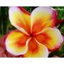 10 Pluméria Rubra -beautifull Orange-99% Sementes Raras