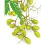 Neem/nim Da India 25 Sementes Prontas Para Plantio Exotico