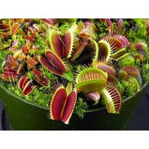 Plantas Carnívoras - 10 Sementes - Dionaea Muscipula