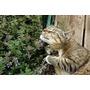 1000 Sementes De Erva Dos Gatos Catnip #dpr4