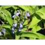 Sálvia Da Somália - Salvia Somalensis - Sementes Para Mudas