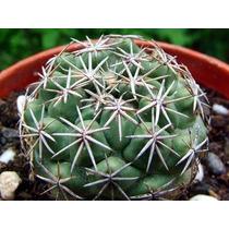 100 Sementes De Cactos Coryphantha - Com Garantia