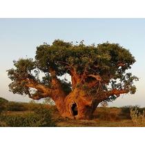 4 Sements Baobá Adansonia Digitata-bonsai