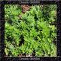 Losna Absinto Artemisia - Sementes Ervas Para Mudas