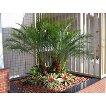 Palmeira Fênix Anã Phoenix Roebelenii Sementes Para Mudas