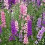 Sementes Da Flor Esporinha Imperial Sortida #fz6k