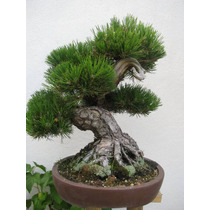 Sementes De Pinheiro Negro Japonês - Mudas Bonsai Ou Árvores