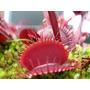 Planta Carnívora - Dionaea Muscipula Akai Ryu Red Dragon !