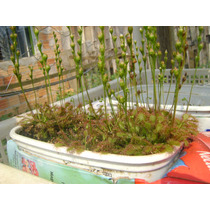 20 Sementes De Planta Carnívora - Drosera Intermedia