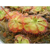 50 Sementes De Planta Carnivora - Drosera Burnanni