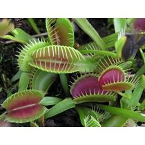 Sementes Planta Carnivora Dioneia - Papa Inseto - Frete Grat