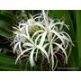 Muda Flor Lirio Gigante - Ornamental Rara E Exótica