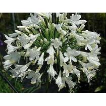 Bulbos De Agapantus Branca Agapantos Mudas Lírio