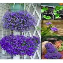 20 Sementes De Lobelia Azul Vasos, Jardim, Decoração