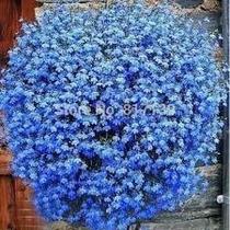 100 Sementes De Lobélia Azul P/ Mudas #m7fr