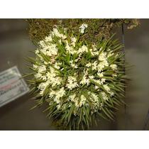 Toceira De Micro Orquídea Capanemia Micromera