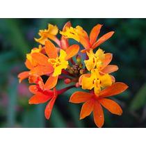 Mudas De Epidendrum Fulgens Orquidea Praia Sumaré Da Praia