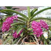 Promoção Orquídea Ryncosthillis Gigantea (raríssima)!!!