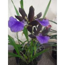 Orquídea Zygopetalum Adulta Plantada - Com 3 A 4 Bulbos.