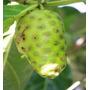 50 Sementes De Noni - Morinda Citrifolia