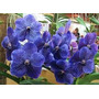 Orquidea Vandas Diversas Cores