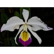 Orquídea Cattleya Eldorado