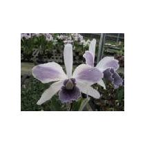 Orquídea Laelia Purpurata Var Ardósia Striata
