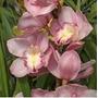 Mudas De Orquídea Cymbidium Cor Rosa