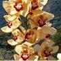 Mudas De Orquídea Cymbidium Cor Amarela
