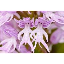 Orquídeas 5 Sementes - Fada Nua Fairy + Frete Grátis