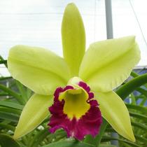 Raridade De Orquídea - Blc Greenwich Elmhurst !